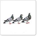 Pigeon Birth Control