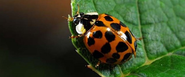 Asian Lady Beetle Identification Guide (Identify)
