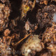 Koppert Entomite M (Hypoaspis miles)