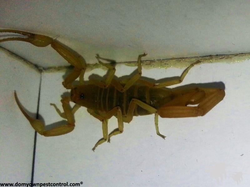 Scorpion Pest Control - Killer Spray | How To Get Rid Of