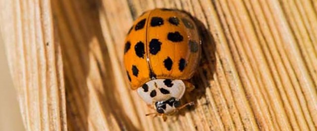Asian Lady Beetle Inspection Guide (Inspect)