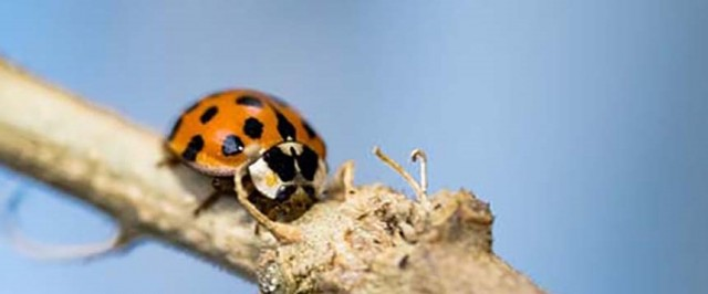 Asian Lady Beetle Prevention Guide (Prevent)