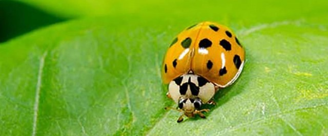 Asian Lady Beetle Treatment Guide (Treat)