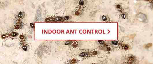 Indoor Ant Control
