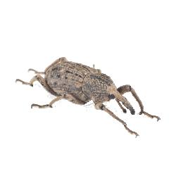 Billbugs