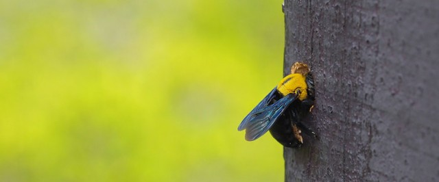 Carpenter Bee Identification Guide (Identify)