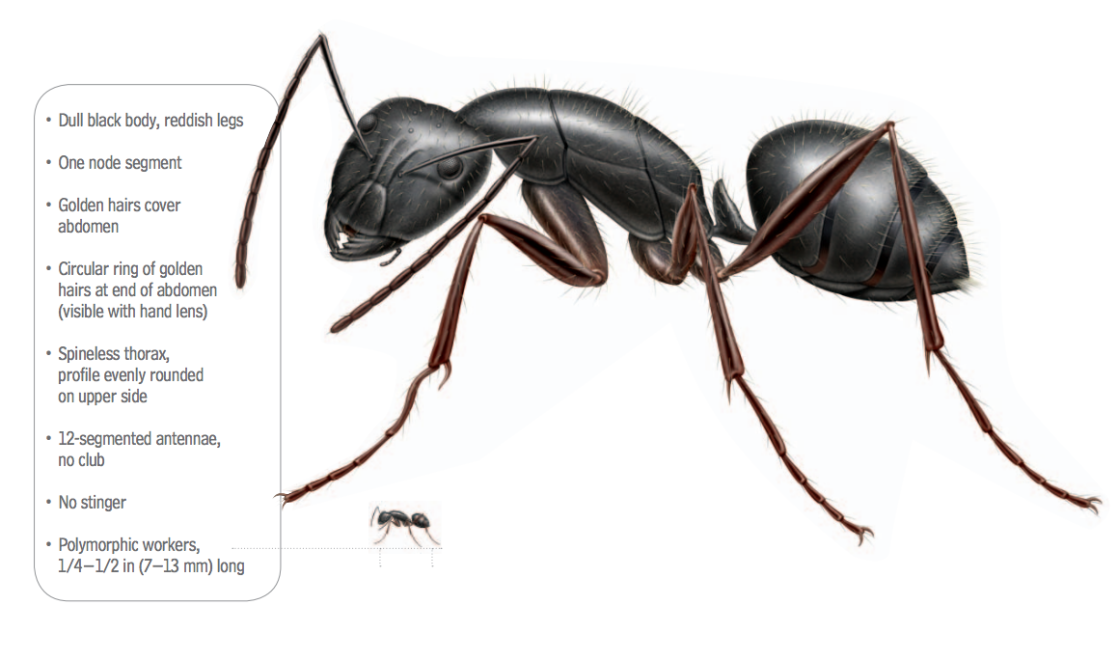 A graphic showing the body parts of a carpenter ant