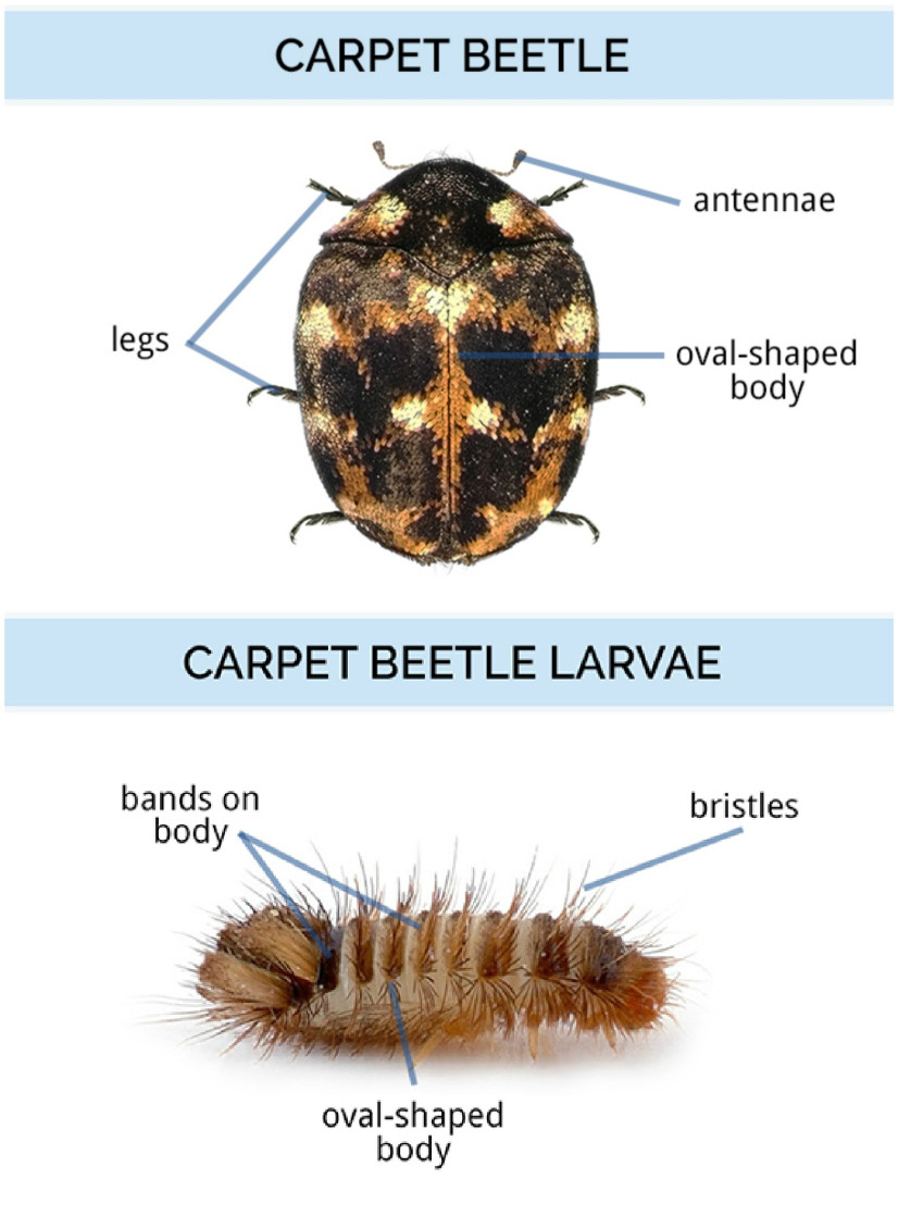 Adult carpet beetles are oval shaped with six legs and two antennae. They have rounded, hard bodies and wings beneath their shells. Carpet beetle larvae can ...