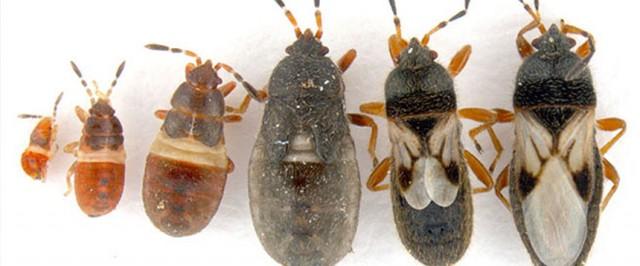 Chinch Bug Identification Guide (Identify)