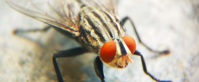 How To Get Rid of Cluster Flies - Cluster Fly Control Guide | Do My Own