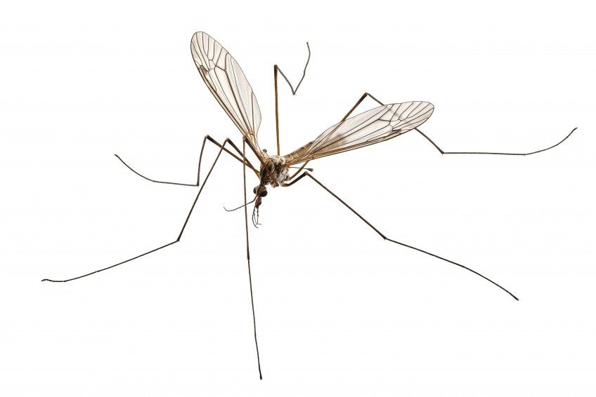 Crane Fly Mosquito Hawk Mosquito Eater Identification Guide