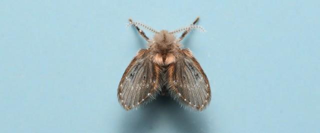 Drain Fly Identification Guide (Identify)