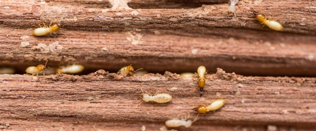 Drywood Termite Identification Guide (Identify)