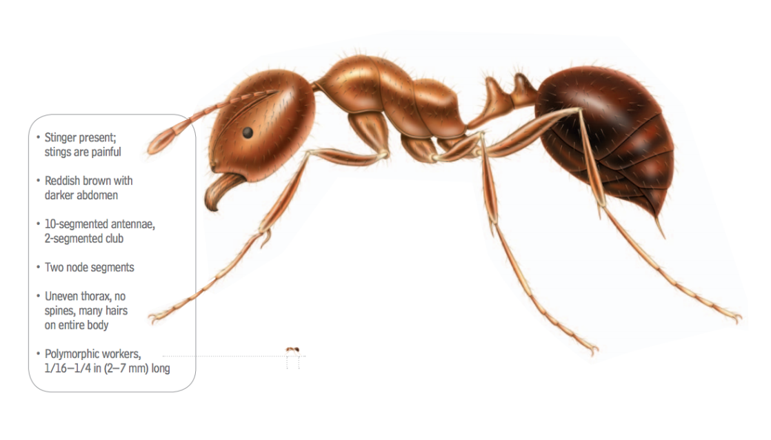 Image of a fire ant with labeled body parts