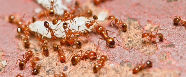 Fire Ant Identification Guide (Identify)