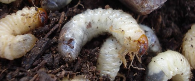 Grub Identification Guide (Identify)