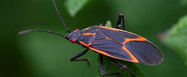 Boxelder Bug Identification Guide (Identify)