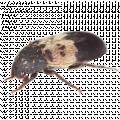 Larder Beetles