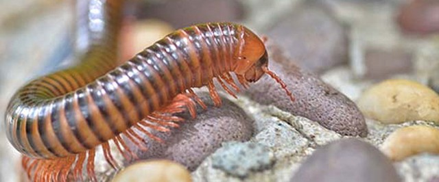 Millipede Control - How to Get Rid of Millipedes in the