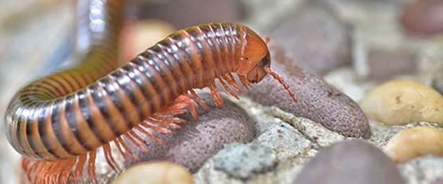 Millipede Identification & Biology (Identify)