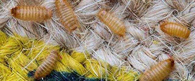 Carpet Beetle Identification Guide (Identify)