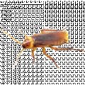 Palmetto Bugs