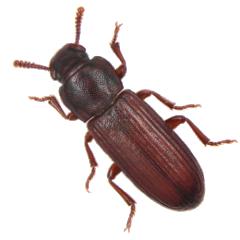 Pantry Beetles