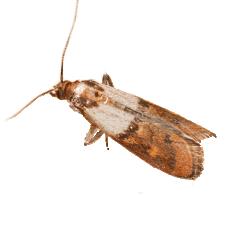 Pantry Moths