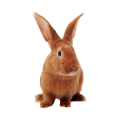 Rabbit Fleas