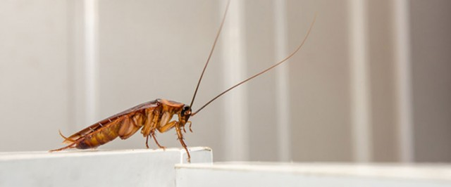 Roach Identification Guide (Identify)