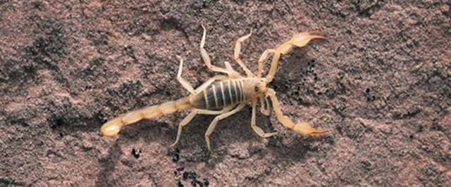 Scorpion Pest Control (Treat)