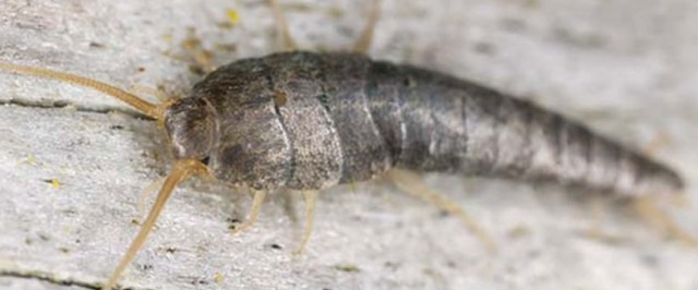 Silverfish Identification and Biology (Identify)
