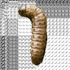 Sod Webworms