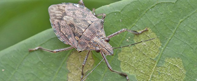 Stink Bug Identification Guide (Identify)