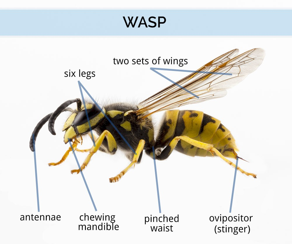 What Does A Female Wasp Look Like