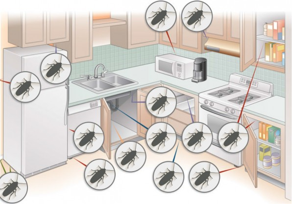 Graphic showing where to look for cockroaches in the home