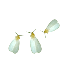 White Flies