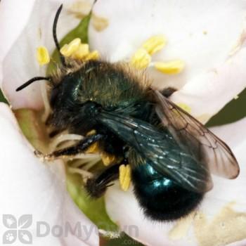 Orcon Mason Bees (6 cocoon per tube)